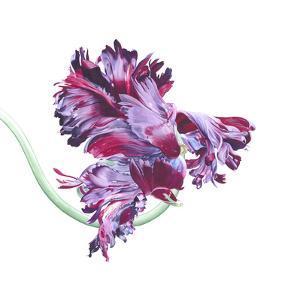 Black Parrot Tulip No 1 by Elizabeth Hellman