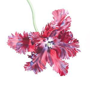 Black Parrot Tulip No 2 by Elizabeth Hellman