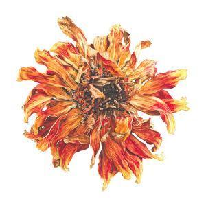 Lion Flower by Elizabeth Hellman