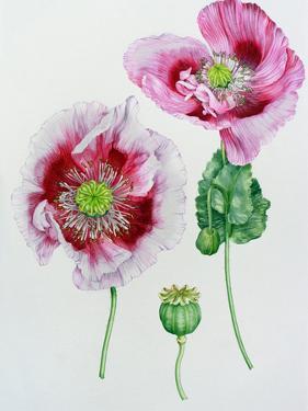 Mauve Poppy by Elizabeth Hellman