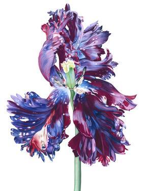 Parrot Tulip 4 by Elizabeth Hellman