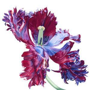 Parrot Tulip No 3 by Elizabeth Hellman