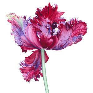 Parrot Tulip No 5 by Elizabeth Hellman