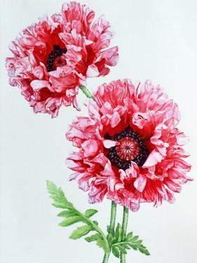 Pink Oriental Poppy by Elizabeth Hellman