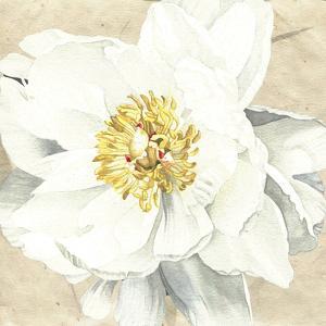 White Peony 1 by Elizabeth Hellman
