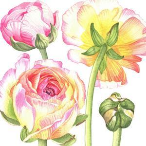 Yellow And Pink Ranunculus 2 by Elizabeth Hellman