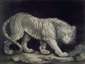 A Prowling Tiger (Pencil on Paper) by Elizabeth Pringle
