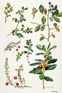 Cranberry and Other Berries by Elizabeth Rice