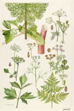 Garden Angelica and Other Plants by Elizabeth Rice