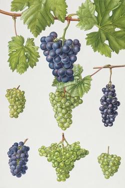 Grapes by Elizabeth Rice