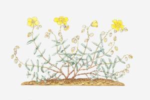 Illustration of Helianthemum Nummularium (Common Rock-Rose), Leaves and Yellow Flowers by Elizabeth Rice