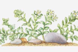 Illustration of Honkenya Peploides (Sea Sandwort), Wildflowers by Elizabeth Rice