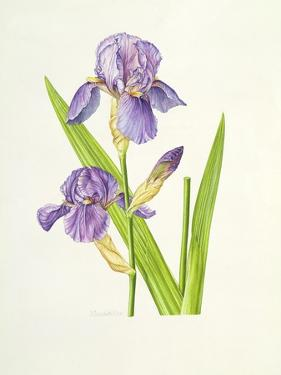 Iris by Elizabeth Rice