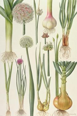 Onions and Other Vegetables by Elizabeth Rice