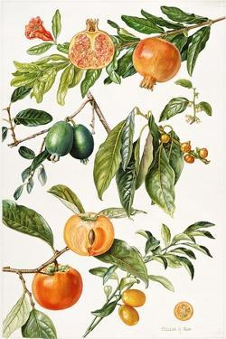 Pomegranate and Other Fruit by Elizabeth Rice