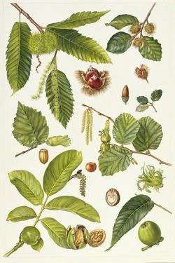 Walnut and Other Nut-Bearing Trees by Elizabeth Rice