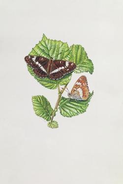 White Admiral Butterfly on Hazel Leaves by Elizabeth Rice