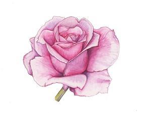 Pink Rose by Elizabeth Rider