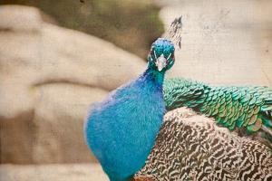 Peacock Head by Elizabeth Urqhurt