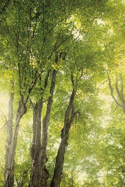 Towering Maples I by Elizabeth Urquhart