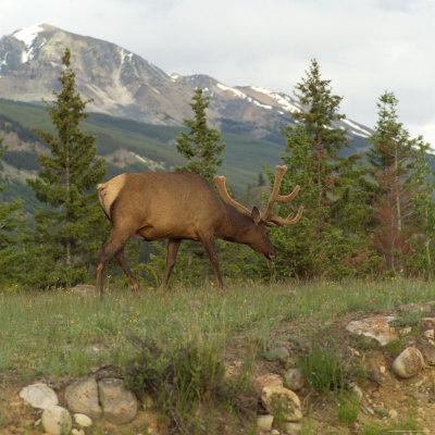 https://imgc.allpostersimages.com/img/posters/elk-grazing-on-grass-jasper-national-park-canada_u-L-P5F1L00.jpg?p=0