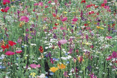 Flower Meadow by Ella Lancaster