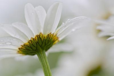 Close-up of Daisy Flower, New Brunswick, Canada by Ellen Anon