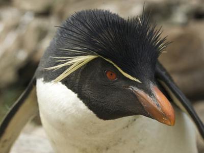 Falkland Islands. Portrait of Rockhopper Penguin by Ellen Anon
