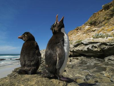 Falkland Islands. Rockhopper Penguin Calling by Ellen Anon