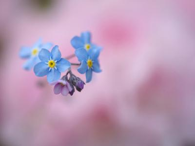 Forget-Me-Not Flowers, New Brunswick, Canada by Ellen Anon