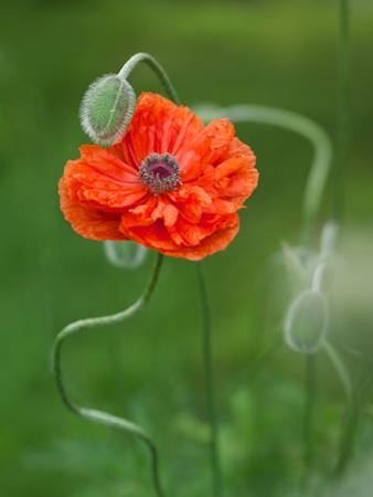 Poppy Flower and Bud, New Brunswick, Canada by Ellen Anon
