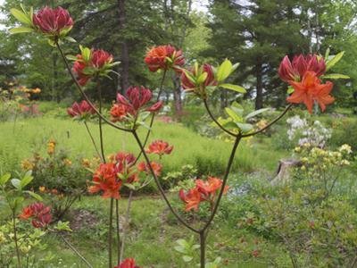 Rhododendrons, New Brunswick, Canada by Ellen Anon
