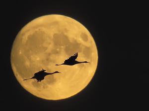 Sandhill Cranes Flying in Front of Full Moon, Bosque Del Apache National Wildlife Reserve by Ellen Anon