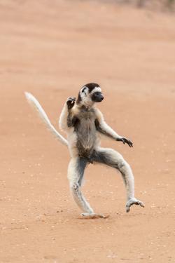 Africa, Madagascar, Anosy Region, Berenty Reserve. A Verreaux's sifaka 'dances' across open areas. by Ellen Goff