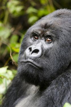 Africa, Rwanda, Volcanoes National Park. Portrait of a silverback mountain gorilla. by Ellen Goff
