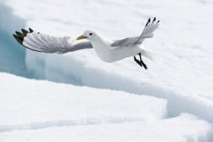Arctic, North of Svalbard. A black-legged kittiwake hovers over the pack ice looking for fish. by Ellen Goff
