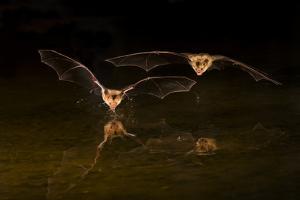 Arizona, Pallid Bat Drinking by Ellen Goff