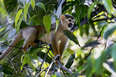 Brazil, Amazon, Manaus. Common Squirrel monkey in the trees. by Ellen Goff