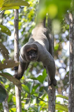 Brazil, Amazon, Manaus, Common woolly monkey hanging from the trees using its tail. by Ellen Goff