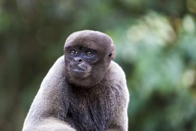 Brazil, Amazon, Manaus, Common woolly monkey portrait. by Ellen Goff