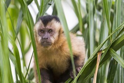 Brazil, Mato Grosso do Sul, Bonito. Portrait of a brown capuchin monkey, Cebus apella. by Ellen Goff