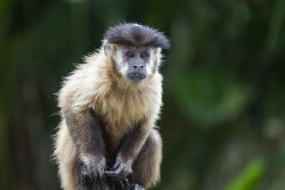 Brazil, Mato Grosso do Sul, Bonito. Portrait of a brown capuchin monkey. by Ellen Goff