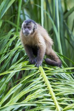 Brazil, Mato Grosso do Sul, Bonito. Portrait of a brown capuchin monkey. by Ellen Goff