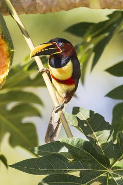 Brazil, Mato Grosso, the Pantanal. Chestnut-Eared Aracari in a Tree by Ellen Goff