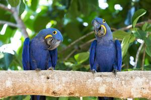 Brazil, Mato Grosso, the Pantanal, Hyacinth Macaw on a Branch by Ellen Goff