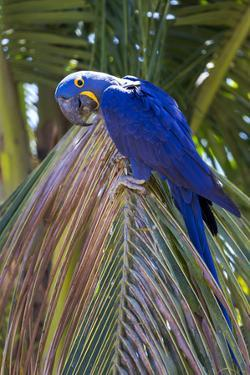 Brazil, Mato Grosso, the Pantanal. Hyacinth Macaw on Palm Branch by Ellen Goff