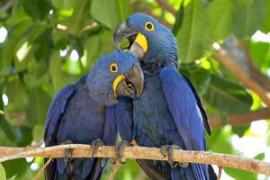 Brazil, Mato Grosso, the Pantanal. Pair of Hyacinth Macaws Cuddling by Ellen Goff