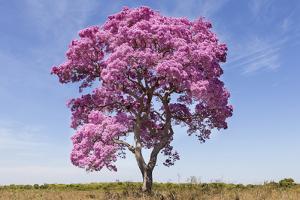 Brazil, Mato Grosso, the Pantanal. Pink Ipe Tree in a Field by Ellen Goff