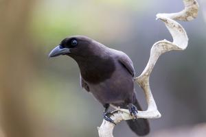 Brazil, Mato Grosso, the Pantanal. Purplish Jay on a Vine by Ellen Goff