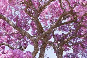 Brazil, Mato Grosso, the Pantanal. Trunks and Blossoms Inside the Pink Ipe Tree in Bloom by Ellen Goff